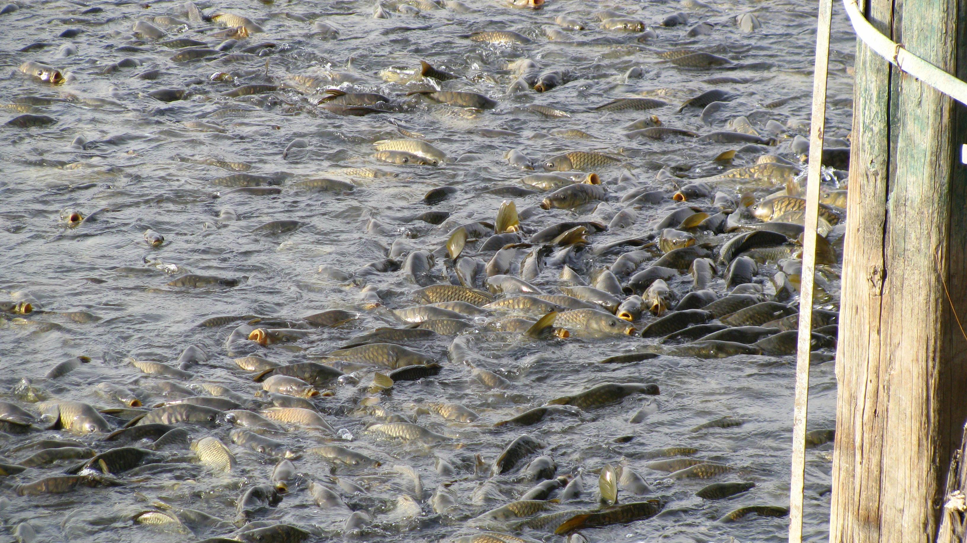 Fishes in Mansar lake